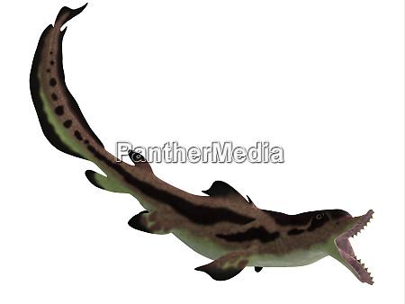 edestus shark open mouth
