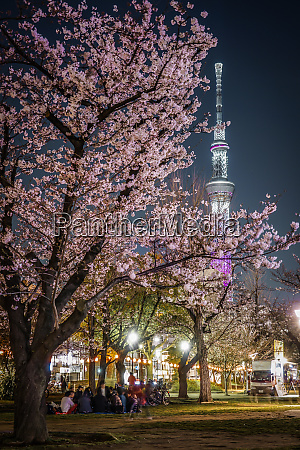 a going to see cherry blossoms