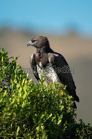 martial eagle perches on bush facing