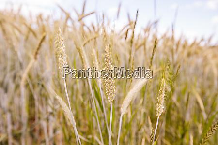 golden wheat fields on summer day
