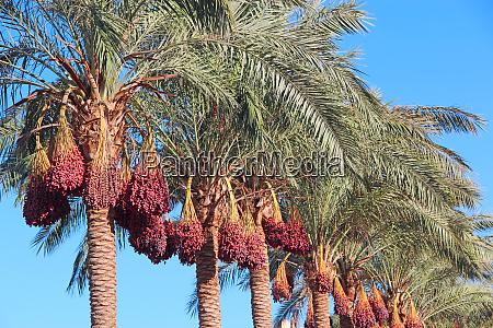 ripe fruits of date tree hang