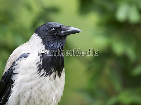 hooded crow a portrait