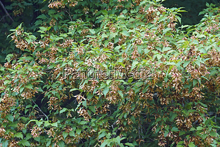 amur maple tree with fruits