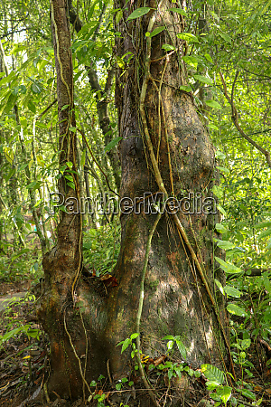 big tree in asian tropical rainforest