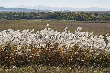view with amur silver grass miscanthus