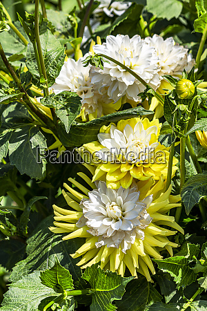 yellow and white dahlias growing in