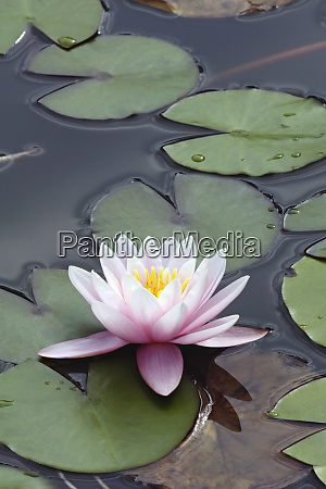 hybrid water lily flower and leaves