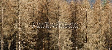 dead spruce by bark beetle 1