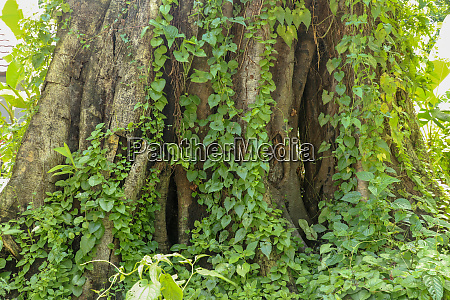 large old tree overgrown with lianas