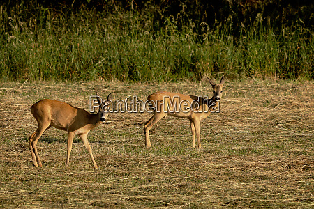 a pair of roe deer on