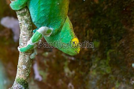 a chameleon moves along a branch