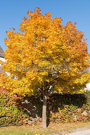 maple tree glows in autumn