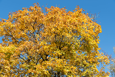 maple tree in the autumn season
