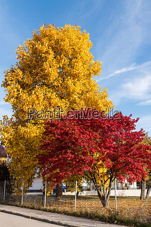 different colored maple trees