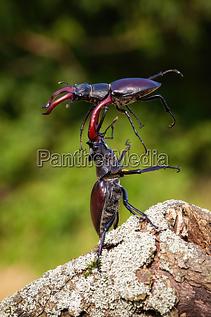 two stag beetle males fighting against