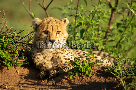 cheetah cub lies in sunshine with