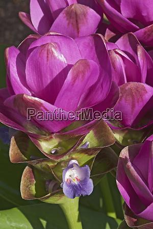 close up image of siam tulip