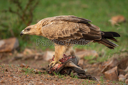 tawny eagle stands on carrion bending