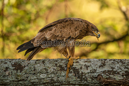 tawny eagle on lichen covered branch