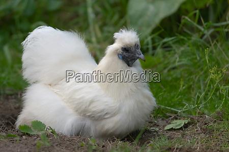 pet silkie chicken sits in self