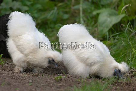 two pet silkie chickens forage for