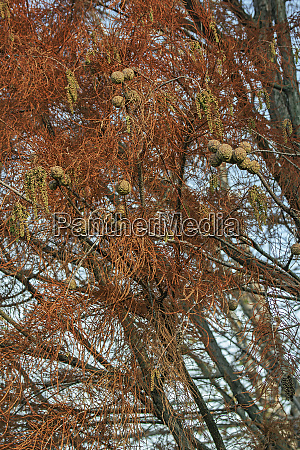 pond cypress tree with cones