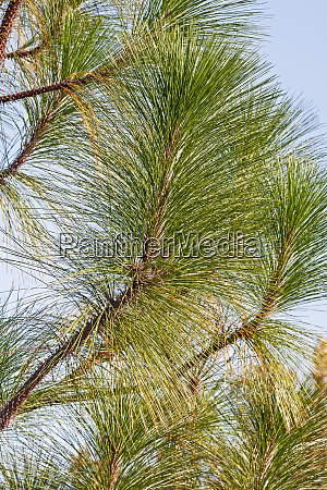 longleaf pine twigs and needles