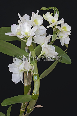 close up image of noble dendrobium
