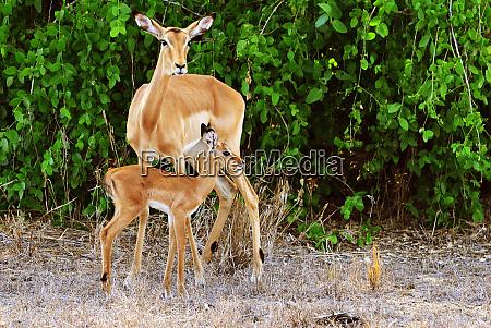 antelope in the gorongosa national park