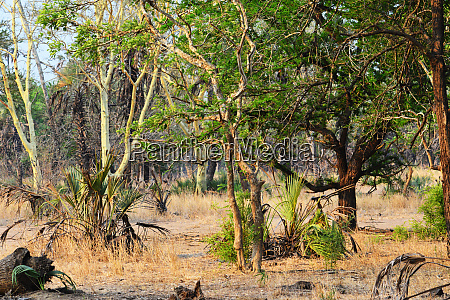 forest of fever trees in gorongosa