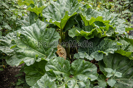 rhubarb plants in the allotment