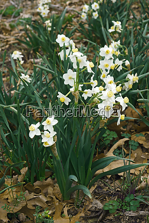 avalanche daffodil flowers