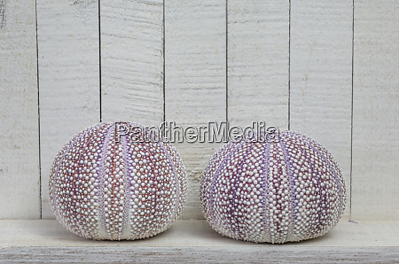two sea urchin shells with copy