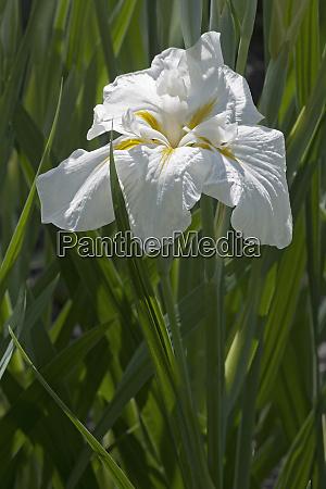 freckled geisha japanese flag iris