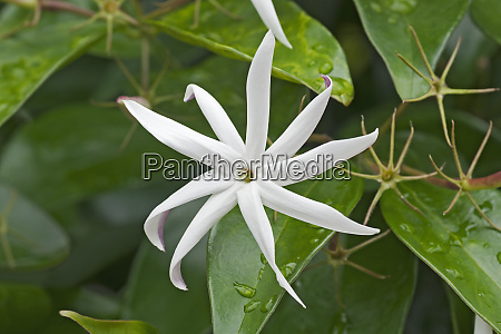 close up image of angelwing jasmine