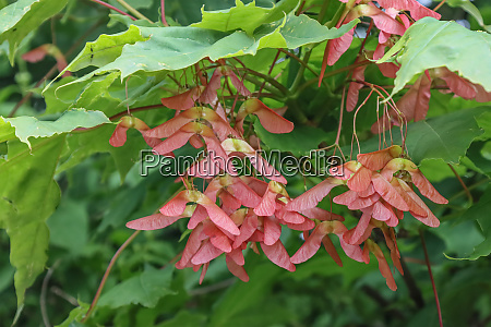 flowering maple tree seeds