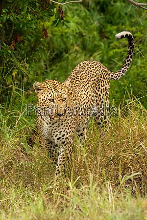 leopard walks past trees in long