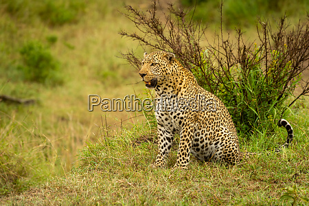 leopard sits on grass with open