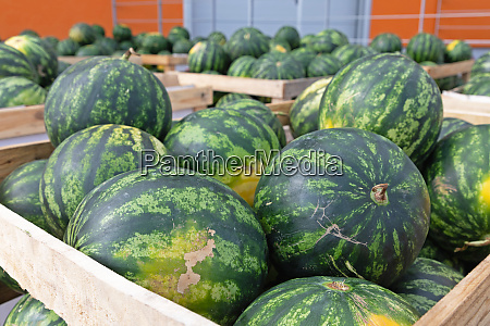 produce watermelons