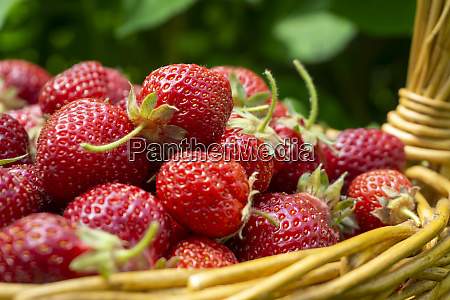 basket full of luscious ripe red