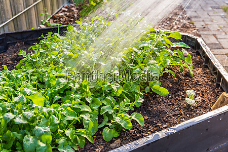 watering rucola plants in vegetable raised