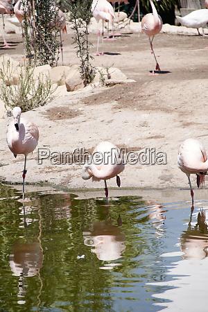 group of flamingos on the lake