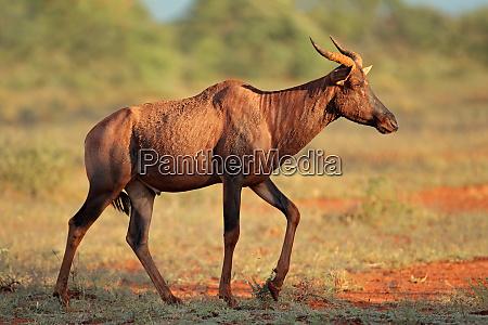 tsessebe antelope in natural habitat