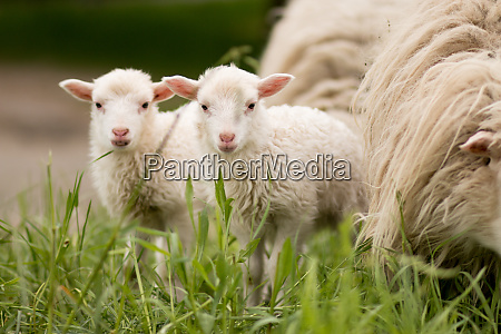 sheep twins mammal animal young farm