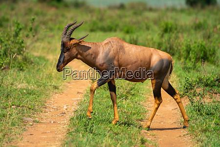 male topi crosses dirt track in