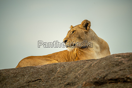 lioness lies on rocky horizon looking