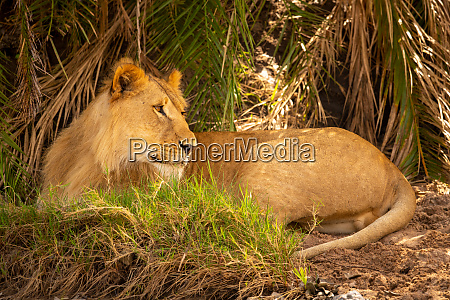 male lion lies under palms looking