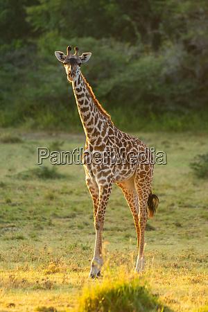 masai giraffe stands in clearing eyeing