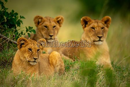 three lion cubs lie in short