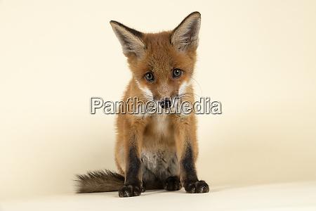 mammal fox 2020 32708